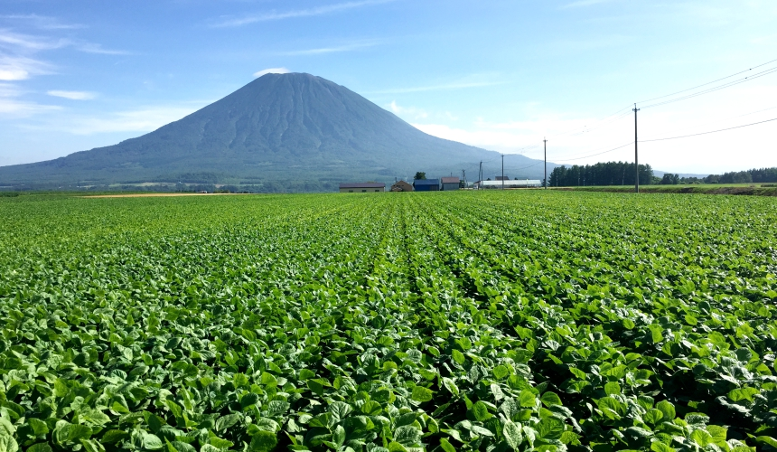 位於北海道俱知安的紅豆田