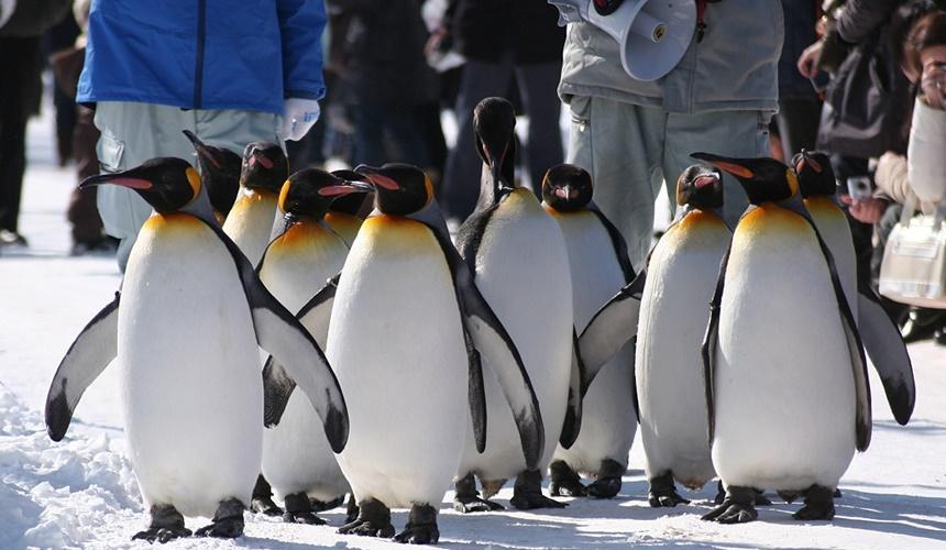 旭山動物園在散步的企鵝