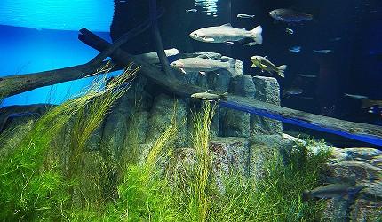 鮭魚的故鄉 千歲水族館