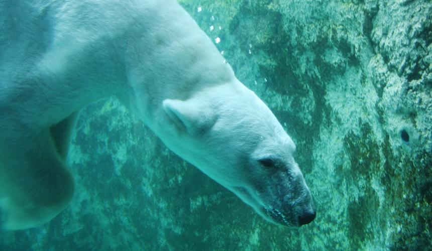 旭山動物園內帥氣的北極熊