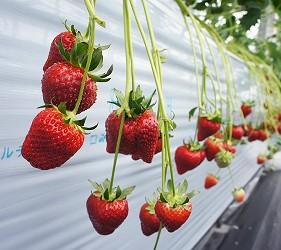Sparuberry採草莓體驗