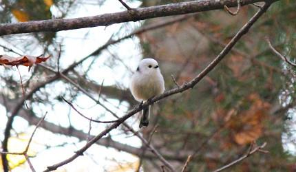 北海道釧路「阿寒湖」旅行推薦景點!冬天「Bokke散步道」樹上的鳥