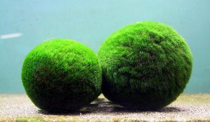 北海道釧路「阿寒湖」知名海底植物「毬藻」(まりも)