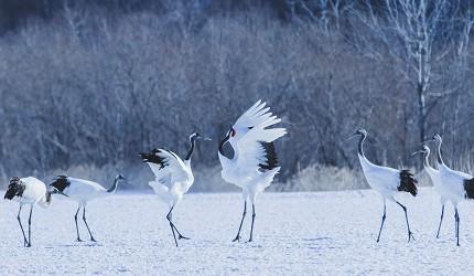 北海道釧路「阿寒湖」旅行推薦景點!阿寒湖冬天看得到的丹頂鶴