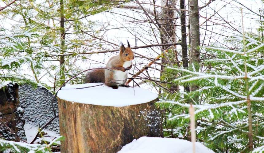 北海道釧路「阿寒湖」旅行推薦景點!冬天「Bokke散步道」上的松鼠