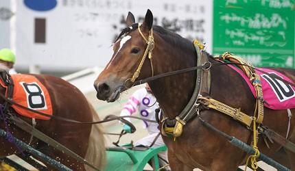 北海道带广挽曳赛马