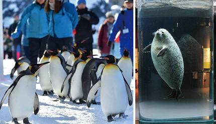 北海道旭山動物園裡的企鵝及小海豹