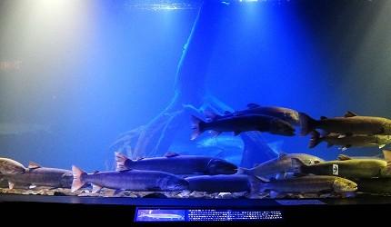 北海道道东「北见市」人气景点北之大地水族馆水槽鱼群