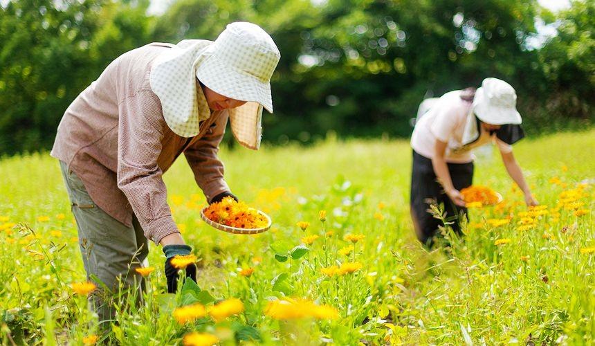 北海道無農藥溫和護膚品牌「Natural Island」採集金盞花形象圖