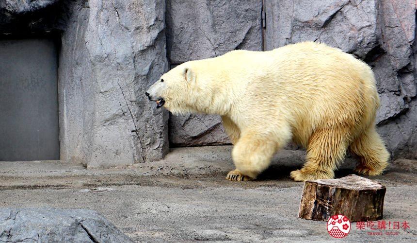 北海道旭川景點推薦旭川動物園的北極熊