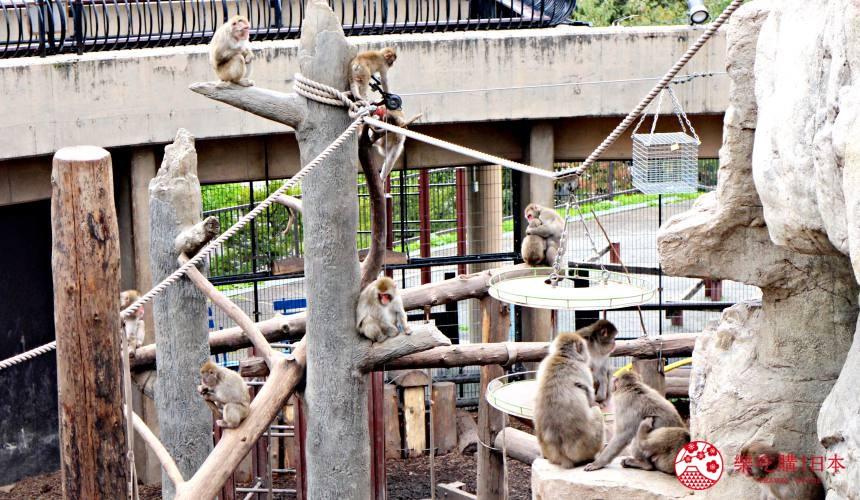 北海道旭川景點推薦旭川動物園的猴子