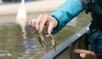 北海道道东四天三夜推荐行程的「钏路川源流独木舟」体验抓螃蟹