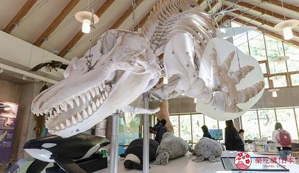 北海道道东四天三夜推荐行程的「知床国立公园  罗臼游客中心」的虎鲸骨骼