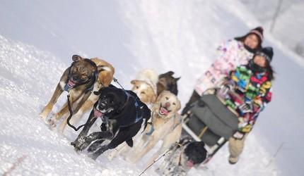 跟汪星人一起在雪地玩耍!南富良野「狗狗拉雪橇」萌度破表
