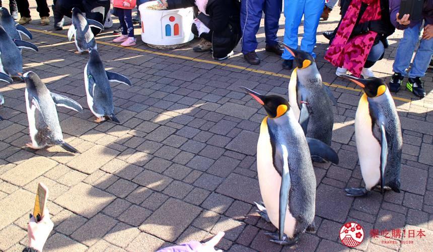 北海道亲子游推荐城堡式登别尼克斯海洋公园内城堡内尼克斯广场上超萌企鹅游行侧拍