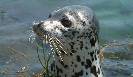 日本北海道最北端的地区稚内市宗谷的利尻岛南端海岬的仙法志御崎公园可以体验喂海豹