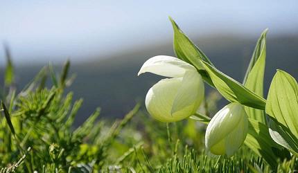 日本北海道最北端的地区稚内市宗谷的礼文岛上有多种鲜花称为花之浮岛