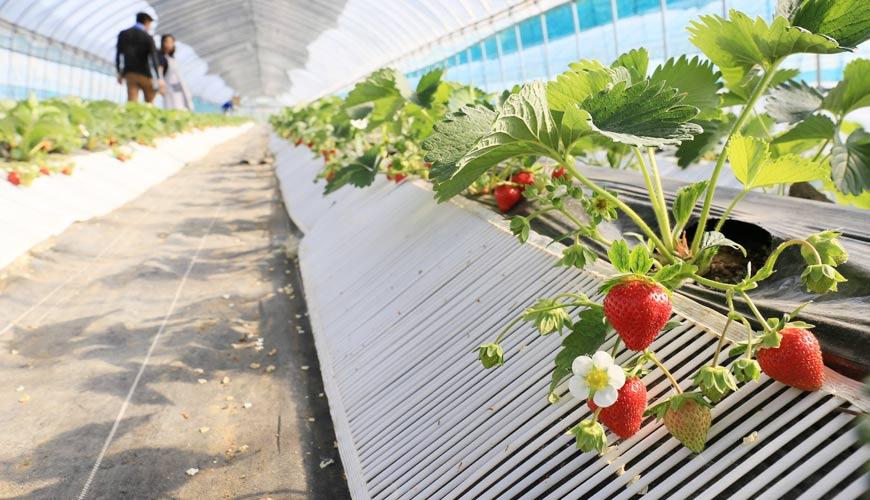 北海道札幌定山溪溫泉採水果體驗